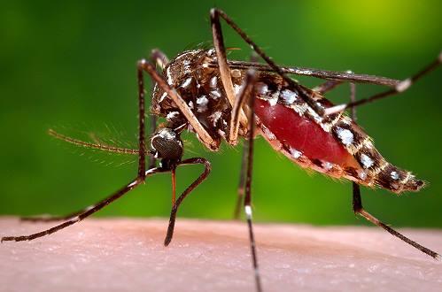 Zika Virus mosquito feeding on human blood